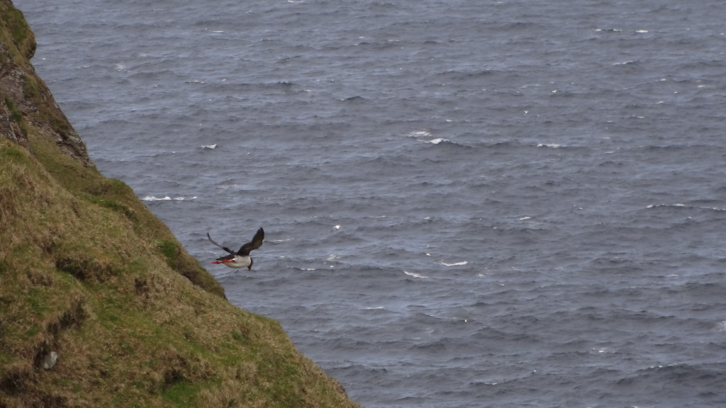 puffin flying off the cliff