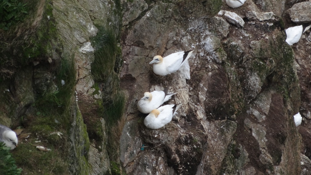 Gannets hanging on to the side of the cliff