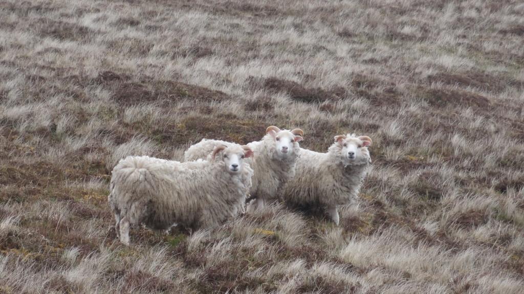three sheep staring