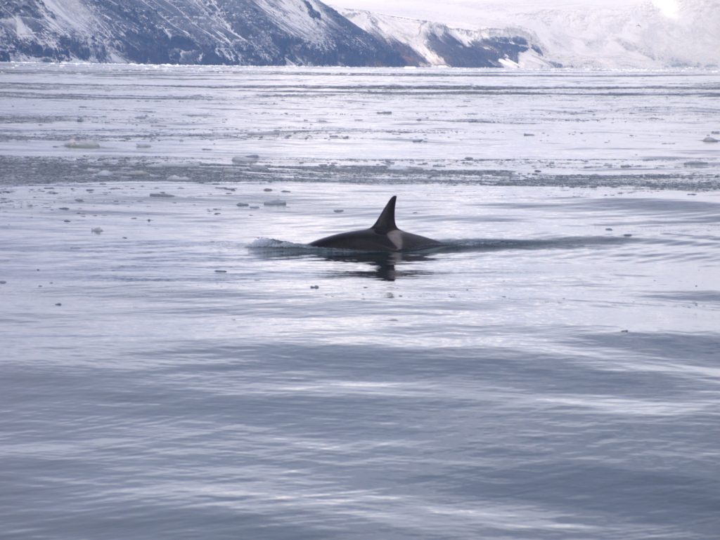 Infinity Expedition - Curious killer whale around Cape Adare