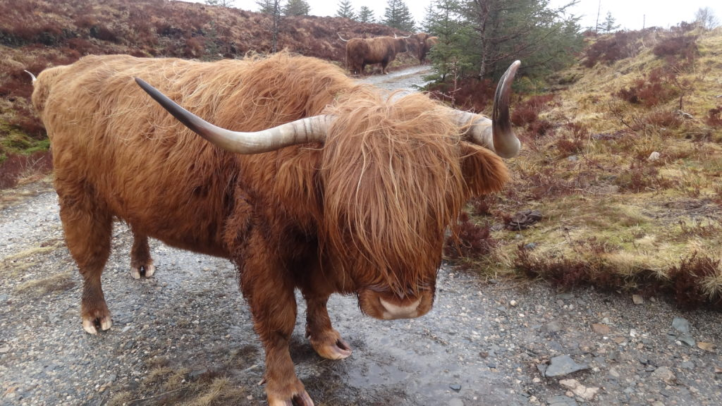 Highland cow staring back