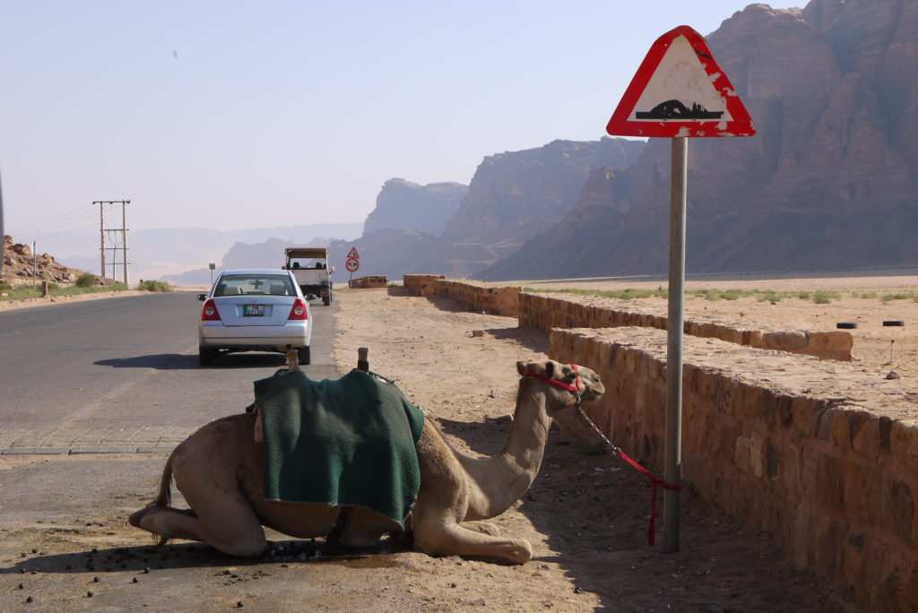 Camel on the way to Wadi Rum