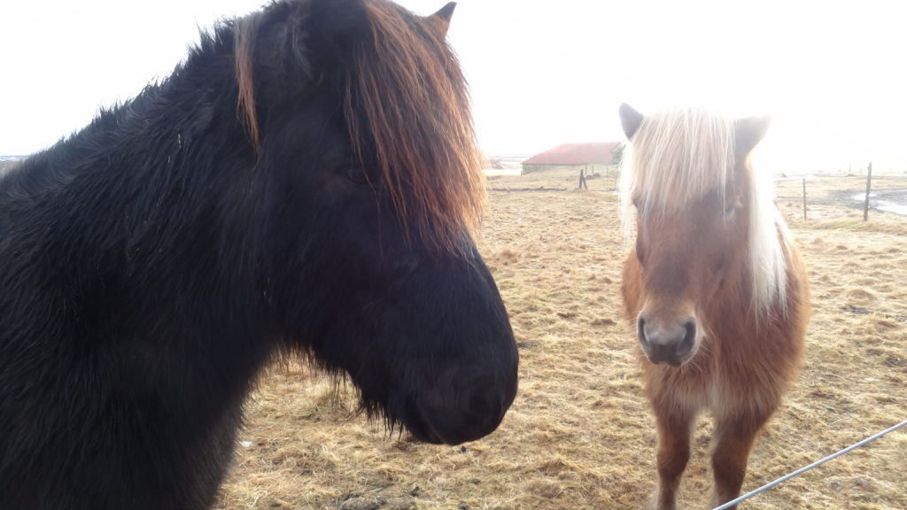 Adorable Icelandic horses